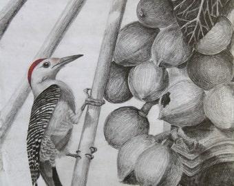 Red-bellied Woodpecker print