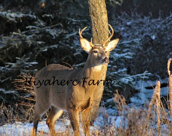 Winter Buck Deer Photograph Nature Photography Wildlife Photography Matted Photograph Wall Art Home Decor Children Decor Fine Art Kitchen