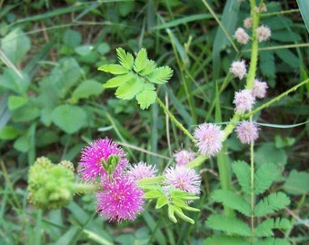 Mimosa diplotricha Giant Sensitive Plant 20 seeds