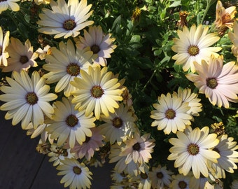 Flower Seeds - WHITE AFRICAN DAISY - Unusual and easy to grow