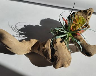 Air Plant Planter, Driftwood Planter, Wood Air Planter, Wood root planter,****FREE SHIPPING***