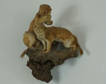 Two Least Weasel Taxidermy Mount on a wooden Base/Wallmount