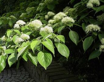 Giant Dogwood Tree Seeds (Cornus controversa) 15+Seeds