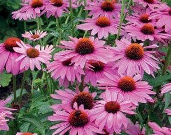 Echinacea, Purple Coneflower, Live Flowers, Live Purple Coneflower, Live Echinacea