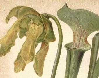 1891 Antique Pitcherplant Print FLORAL BOTANICAL Sarracenia Flava Original Chromolithograph