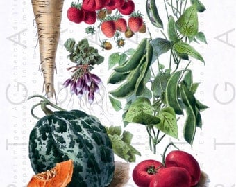 ANTIQUE French BOTANICAL Print. Vintage Botanical Illustration. DIGITAL Vegetables Download. Vilmorin Print Vegetables.