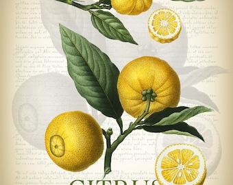 Botanical Art Print - Vintage Botanical Print - Citrus Illustration Print - Redoute' Botanical Print - Vintage Oranges Print