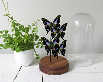 Real butterflies: Graphium weiskei 4 x in Saldivar/glass bell/glass dome
