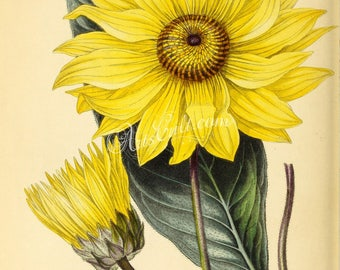 flowers-27041 - Glaucous-leaved Pascalia, pascalia glauca, yellow sunflower digital illustration paper ancient public domain picture image