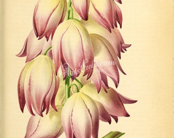 flowers-28876 - yucca whipplei violacea, Hesperoyucca whipplei, chaparral Lord's candle Spanish bayonet, Quixote foothill yucca illustration