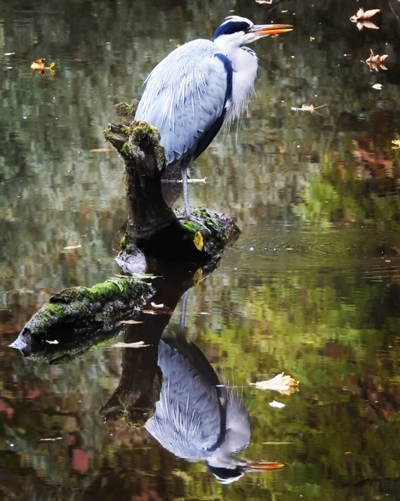 Heron with reflection