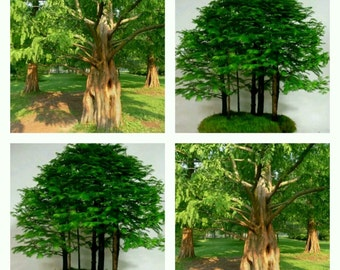 25 seeds, metasequoia glyptostroboides, dawn redwood Dawn Redwood alba seeds