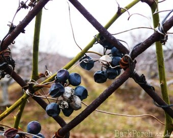 Still Holding On: Winter Grapes; Rhode Island; New England; Color photograph print