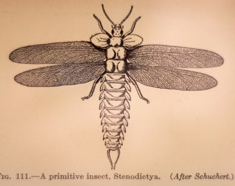 Primitive Insect--original scientific illustration