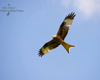 Red Kite, Photography, Bird Photography, Fine Art Print, Nature, Wall Art, Bird of Prey Photography, Animal Photography, Limited edition