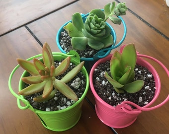 Mini Colorful Tin Buckets including Potted Succulent or Cactus