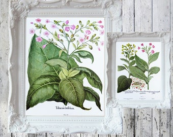 "Tobacco Plants Book Plate/Print  14 7/8"" x 11 1/2"" 2-Sided  ORIGINAL Book Plate Besler Florilegium"