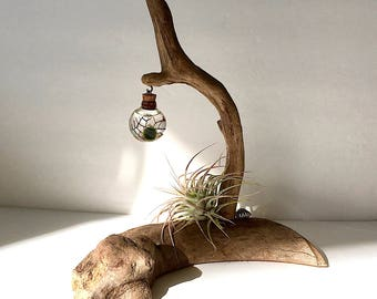 Driftwood Live Marimo Moss Ball Air Plant with Lucky Cat Ecosphere Terrarium #B