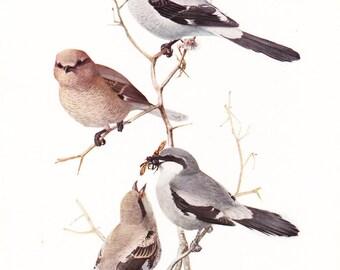 1917 Bird Print - Plate 90 - Northern Shrike - Vintage Antique Art Illustration by Louis Agassiz Fuertes 100 Years Old