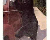 Vintage Wildlife Postcard - A Black Bear in the Smoky Mountains (Unused)
