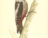 1953 Middle Spotted Woodpecker - Leiopicus medius Vintage Offset Lithograph