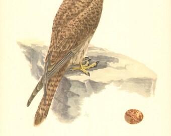 1953 Common Kestrel or European Kestrel - Falco tinnunculus Vintage Offset Lithograph