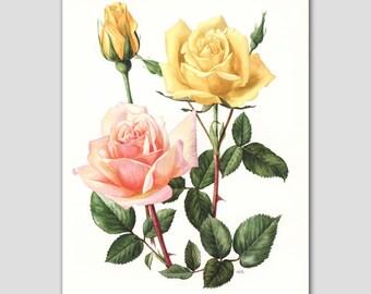 "Rose Art, Antique French Decor (Cottage Room Decor, Botanical Print) --- 1960s ""Comtesse"" No. 34"