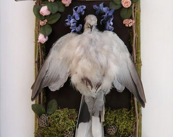 Sign of the Dove, Taxidermy art,Ringneck Dove, rogue taxidermy wall hanging