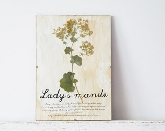 Pressed Flowers- Lady's Mantle in Frame (2)