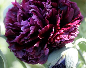 APO)~BLACK PEONY Poppy~Seeds!!!!!!!~~~~~~Mysterious!!!