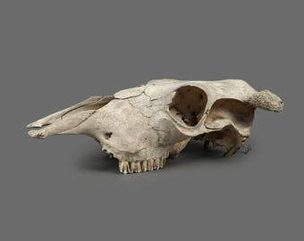 Vintage Real Cow Skull Taxidermy