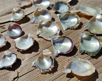 SALE Gulf Pearl Oyster, Genuine Sea Shells, Mother Of Pearl, Beach Decor, Coastal Decor, Beach Finds