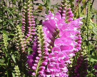 50 PINK Showy OBEDIENT PLANT (False Dragon Head) Physostegia Virgiana Flower Seeds