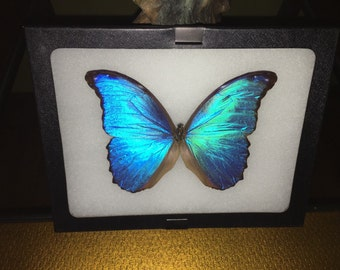 Framed natural butterfly