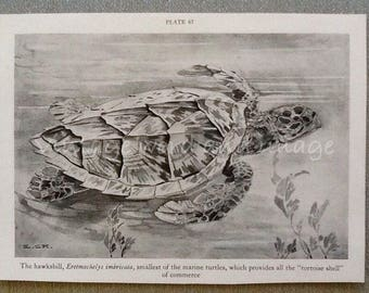 1934 Hawksbill Turtle Art Print Vintage Lithograph American Amphibian Beach House B&W Home Office Decor Marine Tortoise Black and White