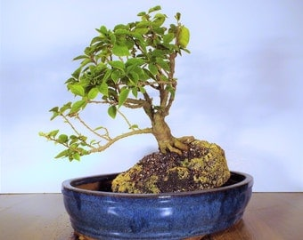 Bougainvillea bonsai growing out of and clinging to a white volcano pumice rock in a large dark blue pot. A one of a kind bonsai!