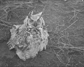 16x24 Poster; Great Horned Owl Sitting On Ground Nara 283826