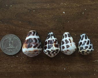 Large hebrew cone shells, lot of 4
