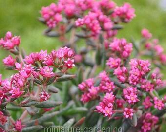 Crassula schmidtii, Fairy Pink for Miniature Garden, Fairy Garden