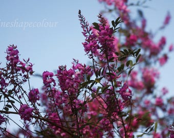 Purple bush flowers and blue sky - Nature photography print