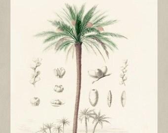 Date Palm Botanical Print Vintage Date Palm Illustration Kitchen Wall Art Fruit Poster  0441