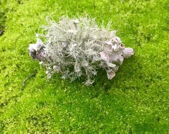 Live Lichen, Lichen-Covered Twigs for Terrarium + Free Gift!