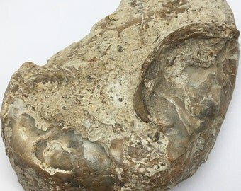 Enormous Fossilized Clam Shell with Great Detail - This Specimen is from Central Texas - Weighs 0.732 Pounds (or Mass of 332 Grams)
