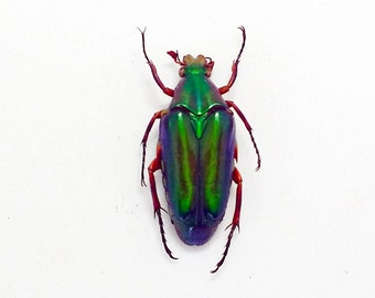 A1 taxidermy chalcothea NEGLECTA Jewel Beetle pimple insect collector specimen