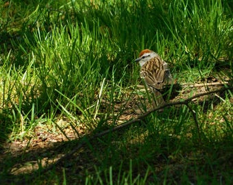 """8""""×10"""" Chipping Sparrow Print"""