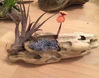 Airplant Driftwood Arrangement - Soft Sunrises