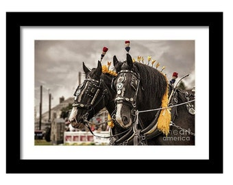 Framed print of Shire horses, equine equestrian horse animal storm vivid pet nature bridle pony draught love riding rider dray draft
