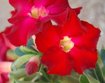 Desert Rose Red ~ Adenium Obesum ~ Live Starter Plant