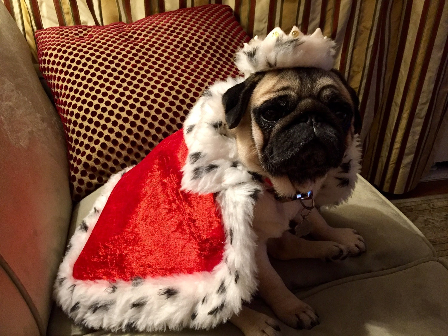King of the Pugs.