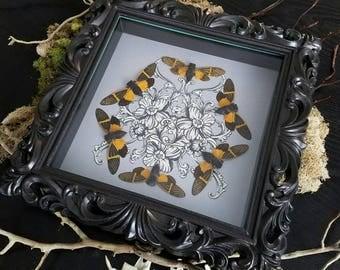 Baroque Cicada Insect Display